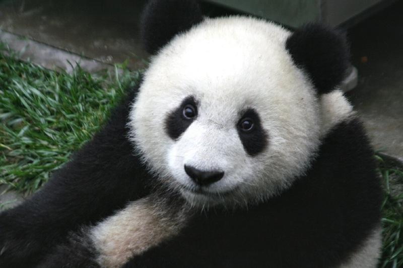 panda en parc animalier
