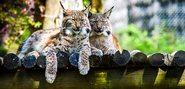 couple de lynx
