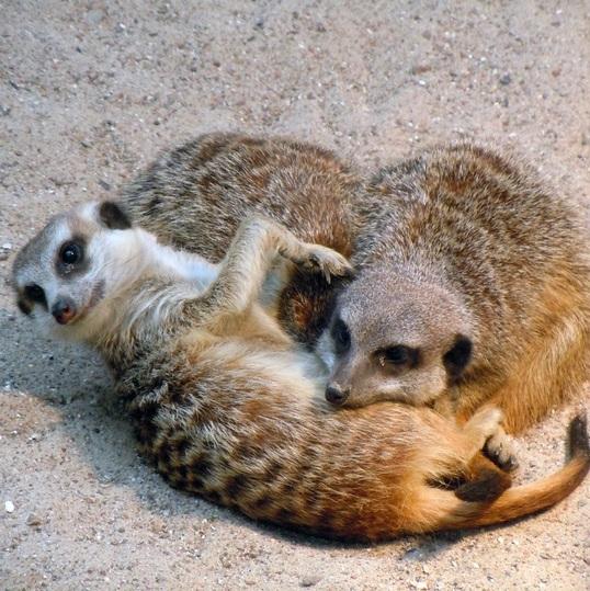 suricates qui jouent